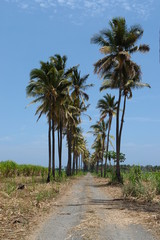 allee des cocotier