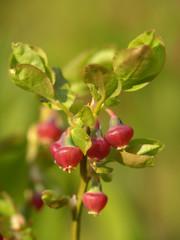 flowering bilberry