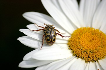 beetle on daisy 12.