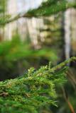 branch of fir-tree poster