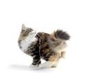 little kitten poster