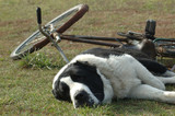 dog with cycle poster