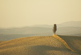 lonely cypress tree in hill - typical tuscan landscape poster