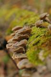 shelf fungus (polyporus sulphureus) poster