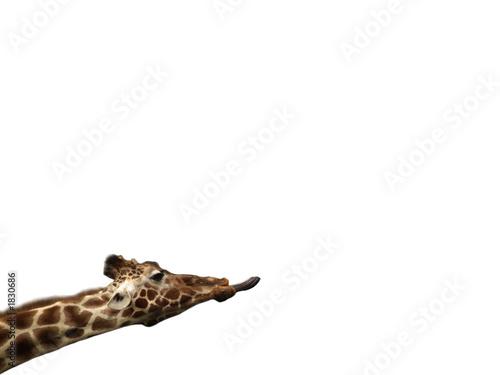Poster isolated giraffe