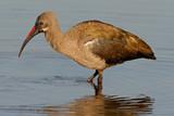 hadeda ibis poster