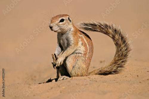 Aluminium Eekhoorn ground squirrel