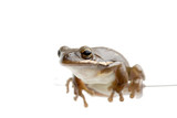 treefrog perched on glass poster