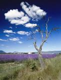 lavender fields provence france poster