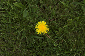 dandelion on green