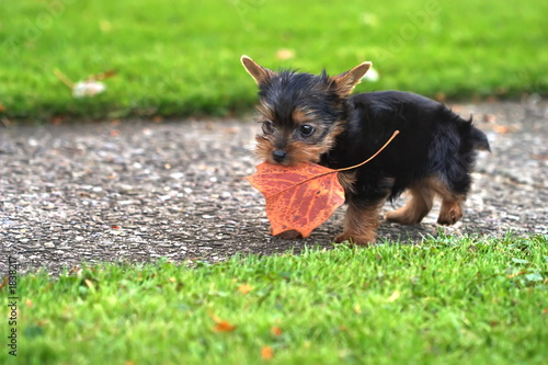 yorkie playing
