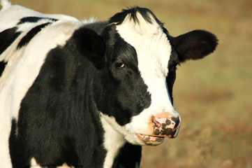 black and white bull cow