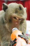 a monkey enjoys a treat at the annual monkey buffet festival at poster