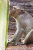 a monkey enjoys an ice treat at the annual monkey buffet festiva poster