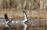 geese take flight. poster
