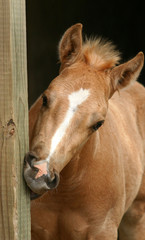foal gnawing wood