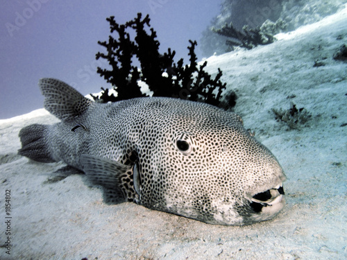 Giant puffer fish stock photo and royalty free images on for Giant puffer fish