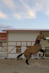 akhal–teke horse