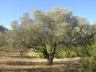 un vieil olivier en provence