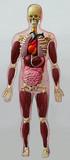 human anatomical model poster