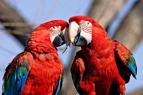 Keuken foto achterwand Papegaai love birds