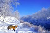 red fox in hoar frost poster