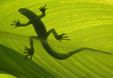 wild lizard on backlight leaf