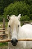 white pony in corral poster