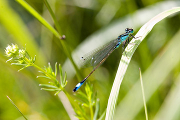 blue dragonfly on pond