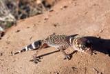 barking gecko poster