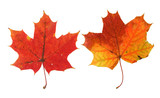 two vivid maple leaves poster