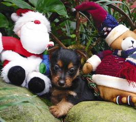 austalian puppy