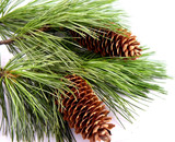 cones on the fir branch poster