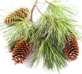 three cones on the fir branch poster