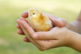 adorable chick protected by hands