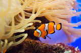 Fototapete Klar - Clown - Fische