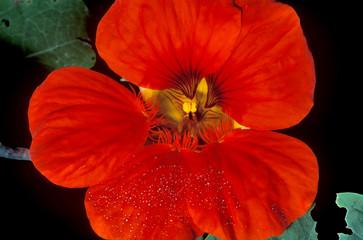 dewey begonia