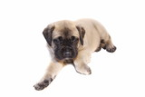english mastiff puppy on white poster