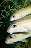 caribbean goatfish family
