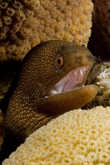 caribbean brown moray