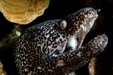 caribbean spotted moray
