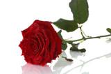 red rose close up - Fine Art prints