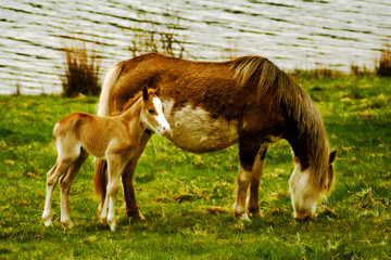 wild horses in brecon