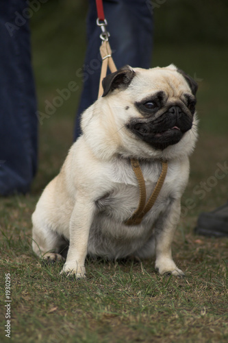 pug on a leash
