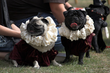 pugs dressed up for a show