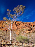 coolibah and cliffs poster
