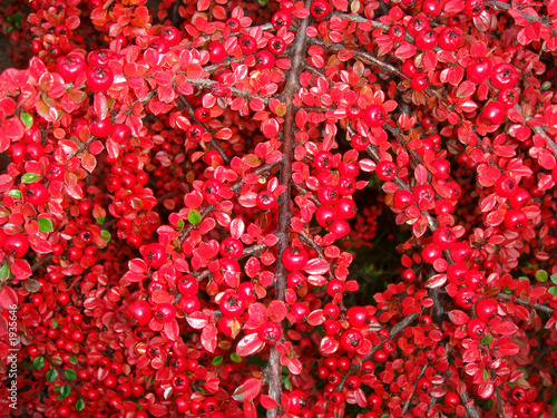 arbuste a boule rouge photo libre de droits sur la