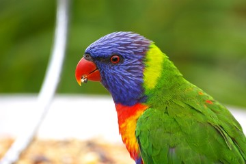 todays rainbow lorikeets 62.