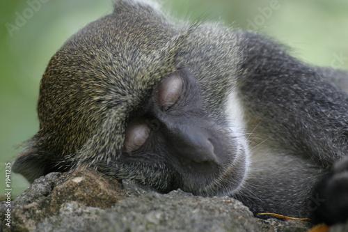 Foto op Canvas Aap sykes monkey sleeping