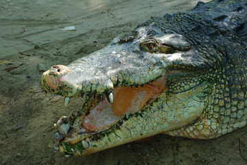 head of crocodile
